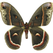 003-cecropia-moth1